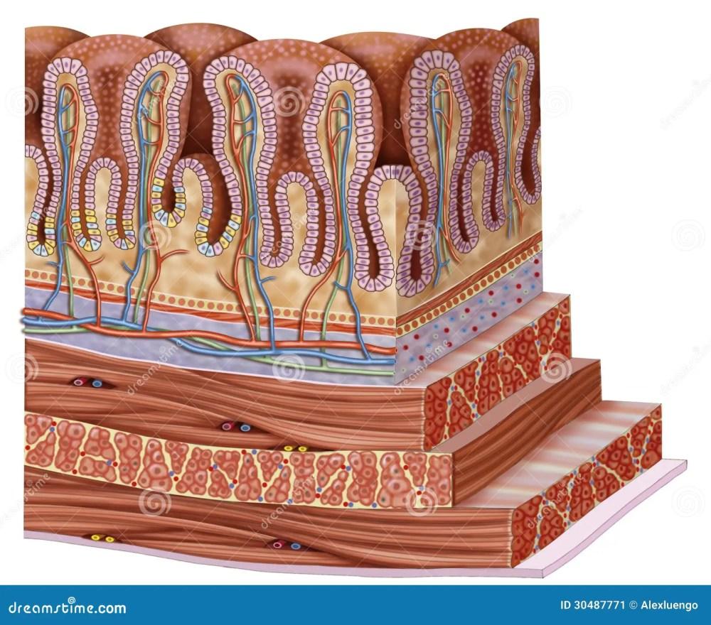 medium resolution of stomach wall