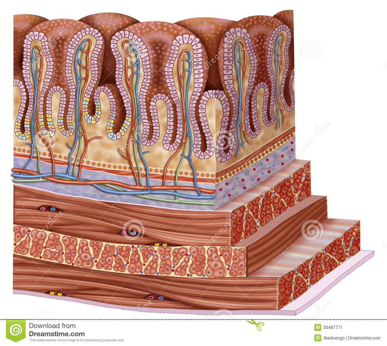 hight resolution of stomach wall