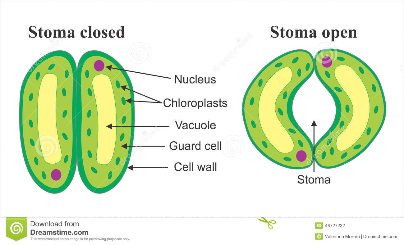 structure of stomata with diagram hsh wiring push pull stock vector illustration cellular computer