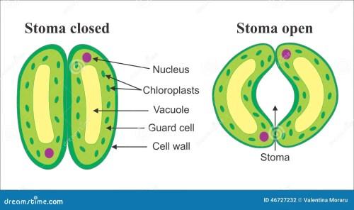 small resolution of stomata stock illustrations 90 stomata stock illustrations vectors clipart dreamstime