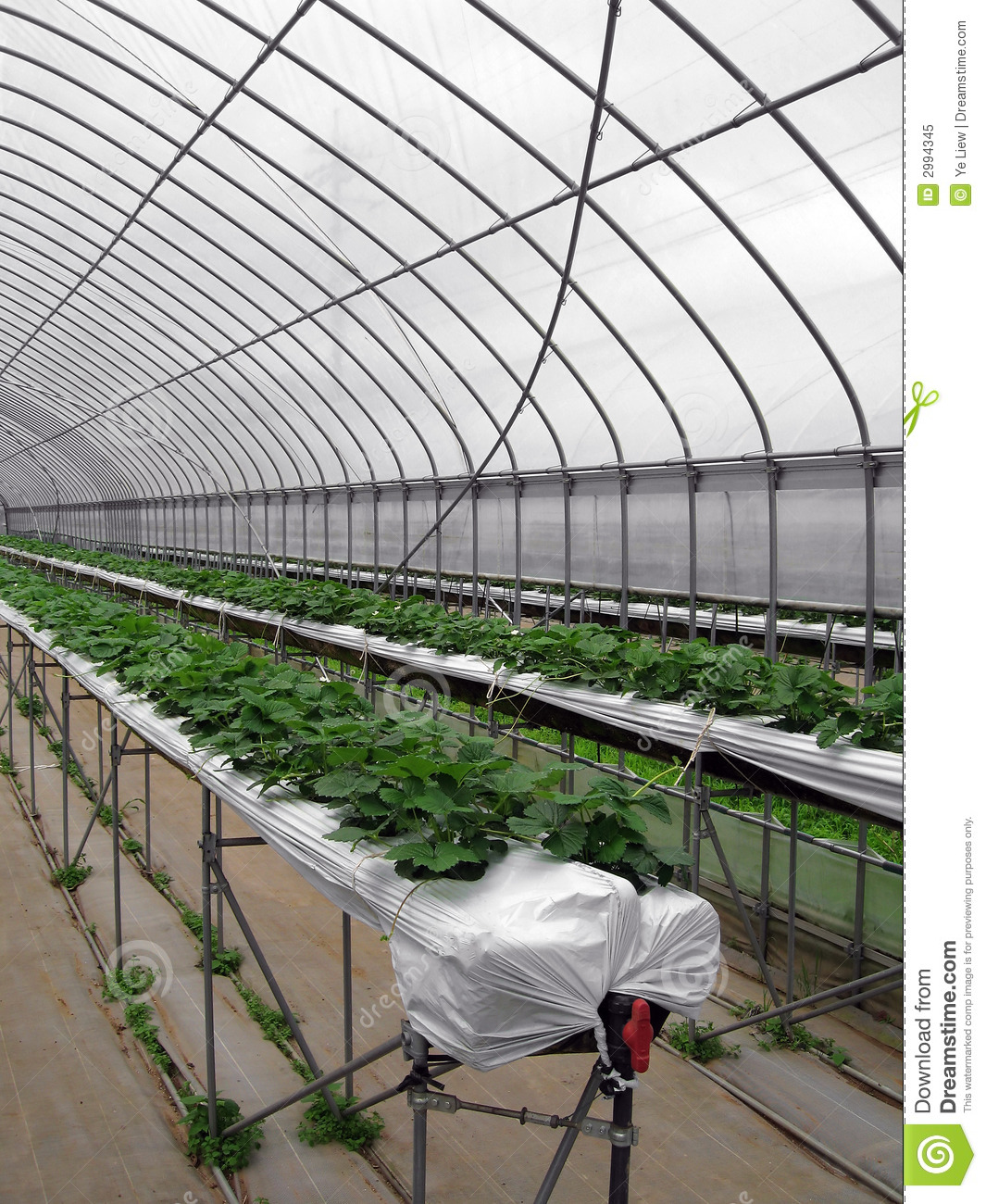 Strawberry Greenhouse Stock Image Image Of Garden Green 2994345