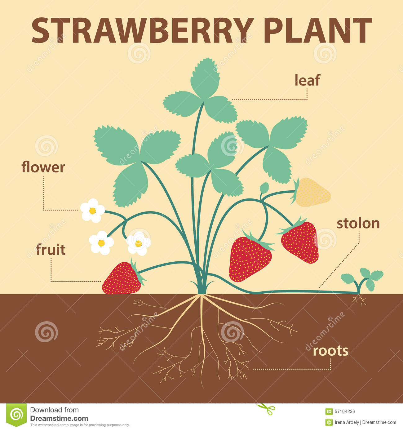 Strawberry Plant Stock Vector
