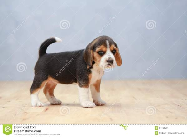 Strong Female Beagle Puppy In Action Royalty-free Stock