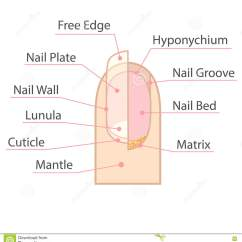 Diagram Of Human Nail Alpine Ktp Structure And Anatomy Stock Vector