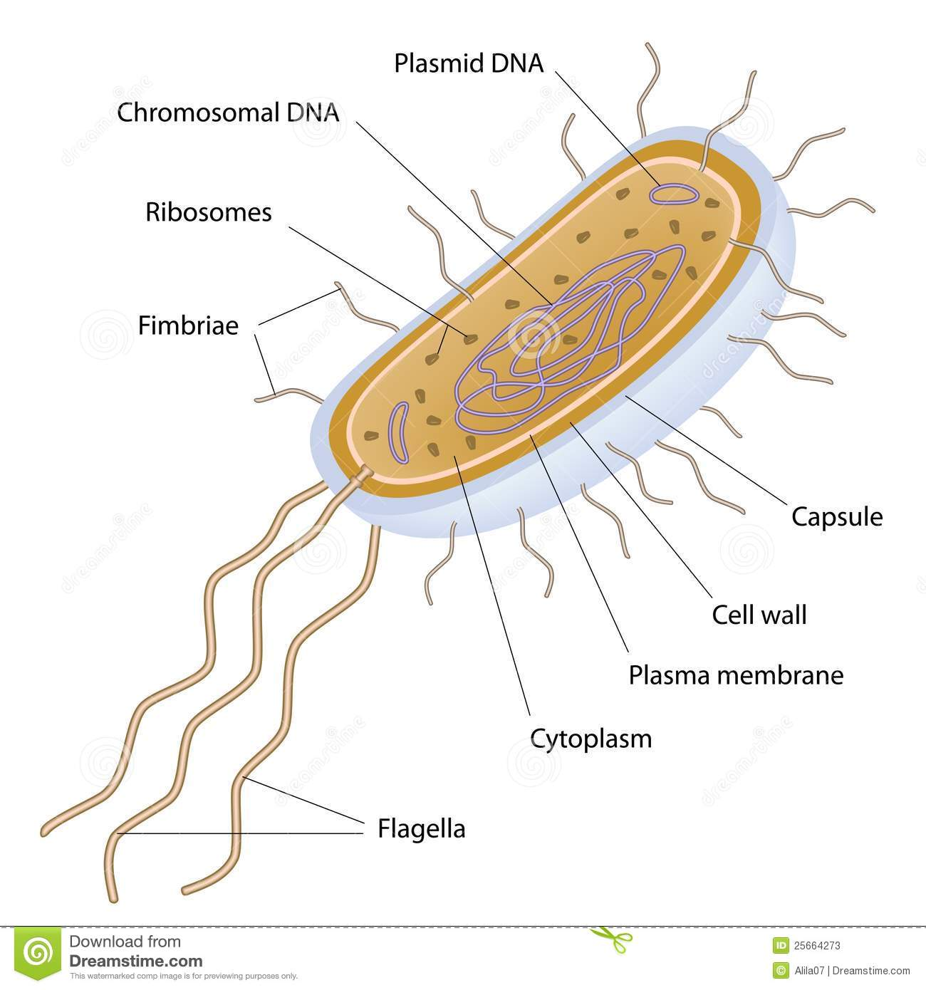 bacteria structure diagram laser diode driver circuit of a bacterial cell stock vector illustration