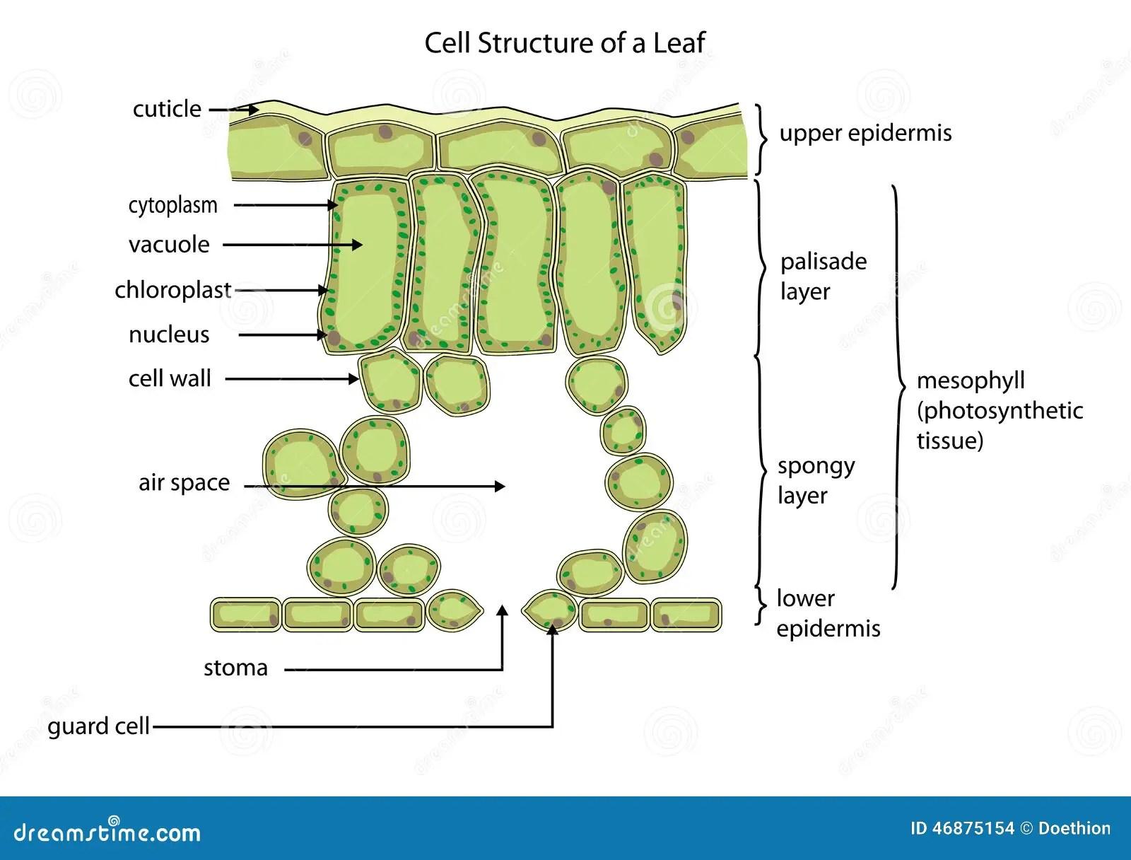 Structure Cellulaire D Une Feuille Illustration De Vecteur