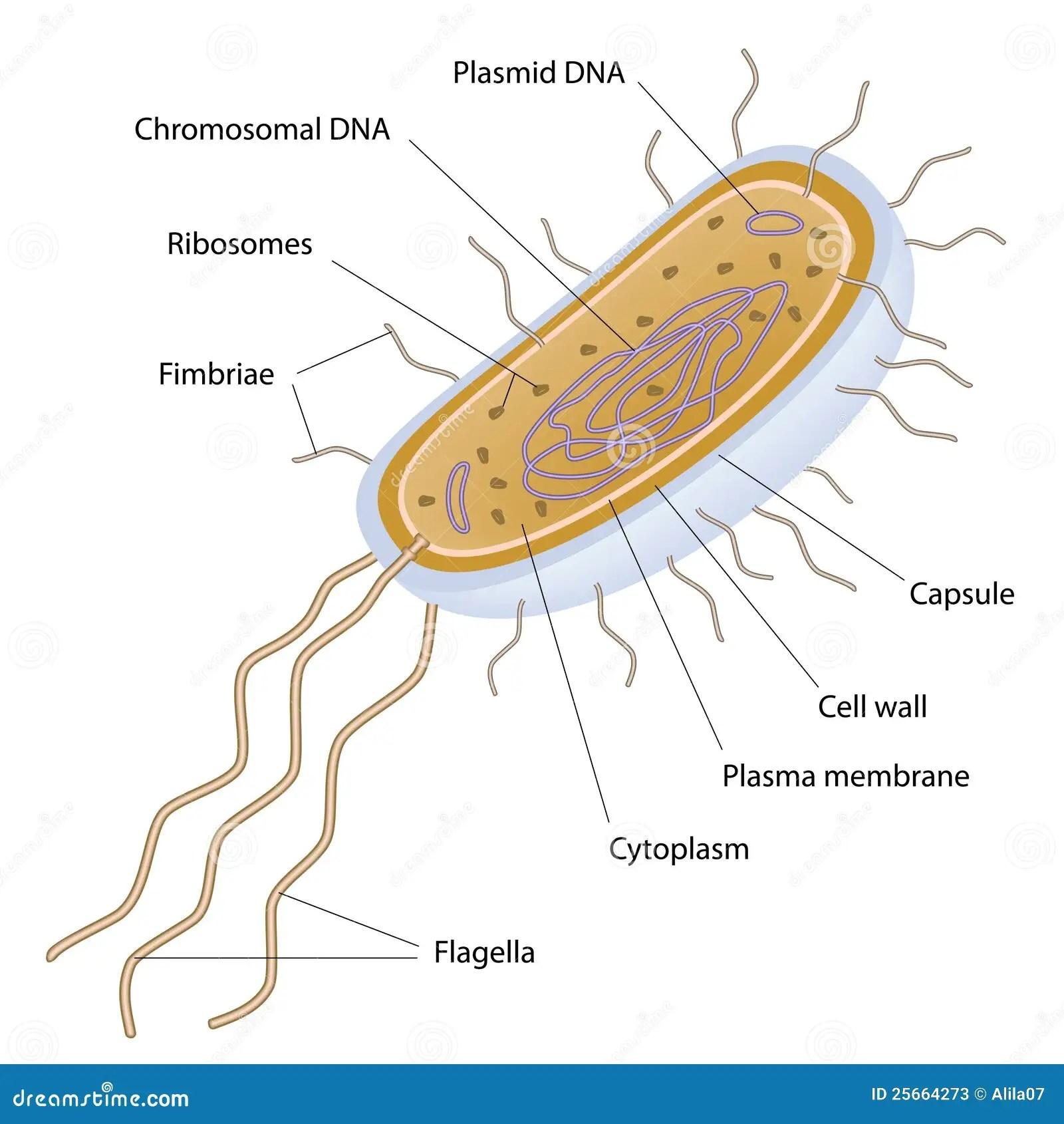 Structure D Une Cellule Bacterienne Photos Stock