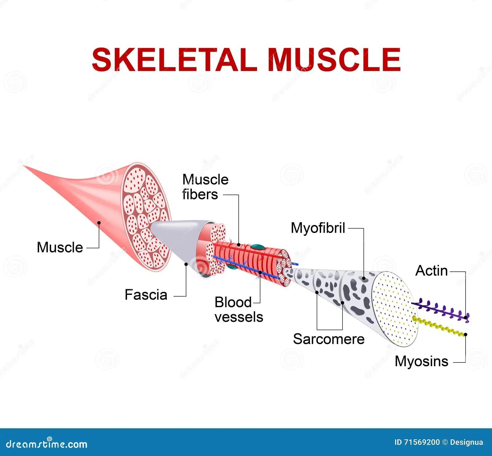 Structure De Muscle Squelettique Illustration De Vecteur