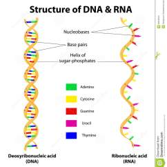 Simple Diagram Of Dna Replication Phone Jack Wiring Structure And Rna Molecule Vector Stock