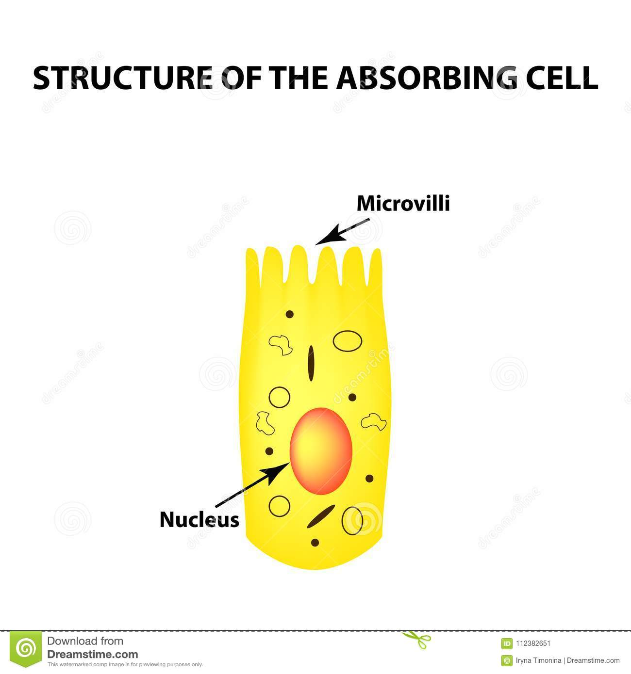 hight resolution of structure of the enterocyte absorptive cells intestine infographics vector illustration on isolated background