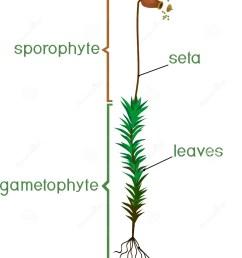 diagram of life cycle of common haircap moss polytrichum commune [ 1054 x 1300 Pixel ]