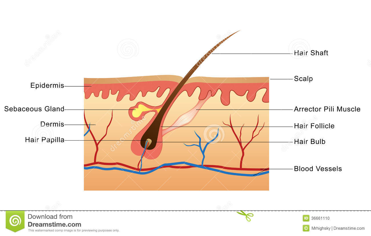skin anatomy diagram labeled addressable led strip wiring structure of hair stock photo image illustration