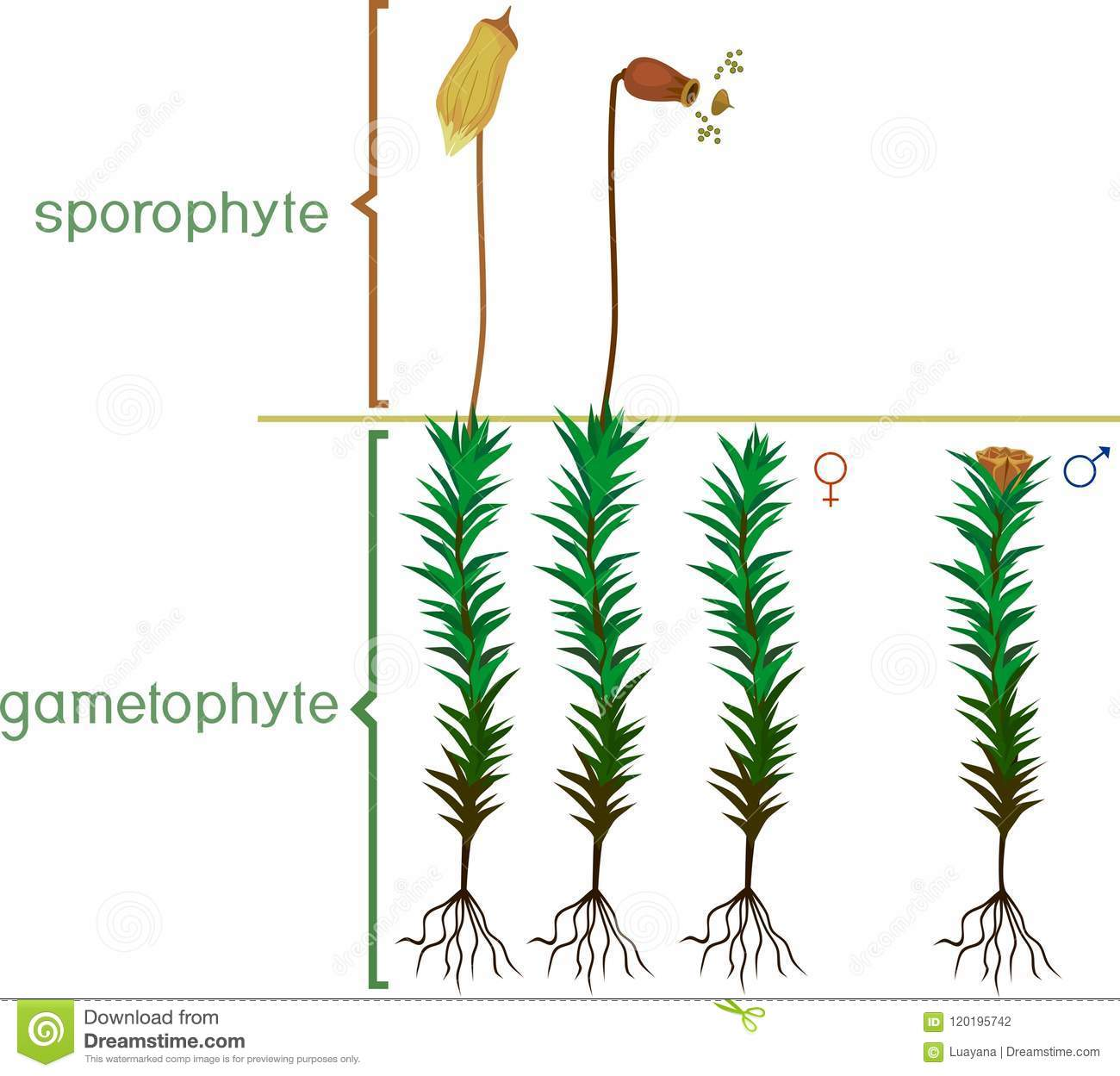 hight resolution of structure of haircap moss gametophyte with sporophyte with english titles male and female plants