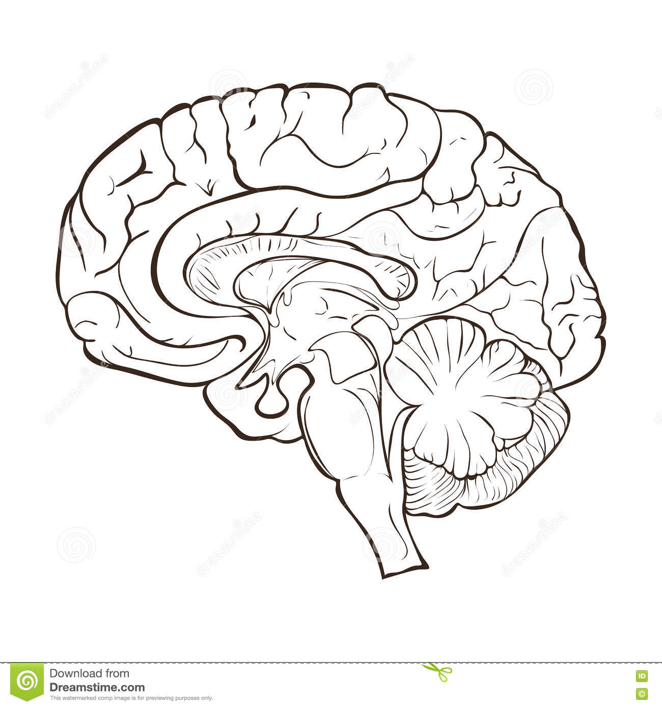 right lateral brain diagram 2004 wrx wiring structure of the human hemispheres stock