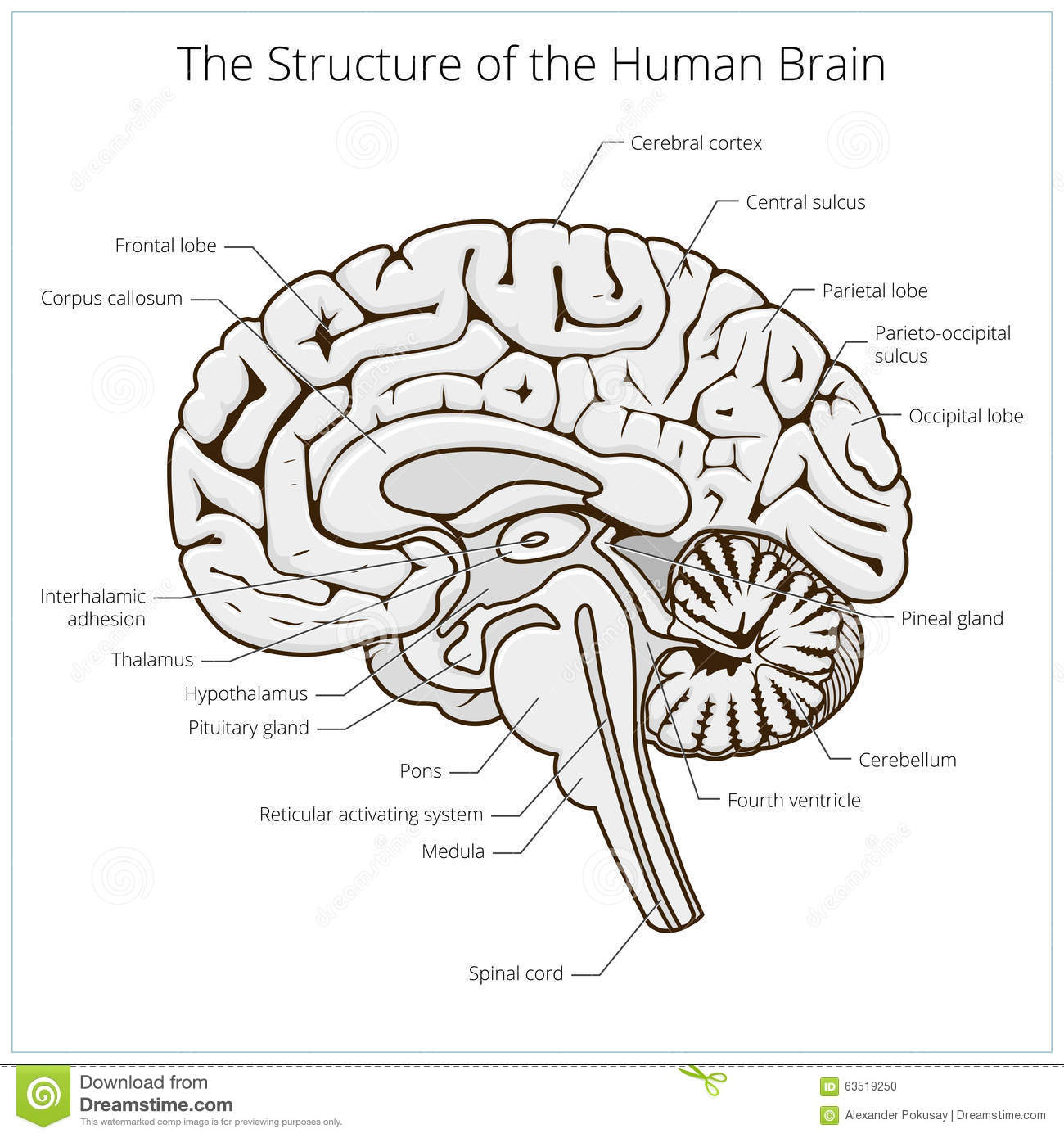 Structure Of Human Brain Section Schematic Vector Stock