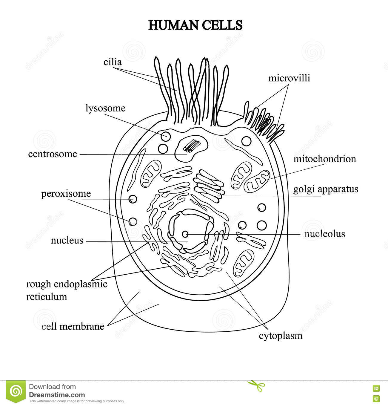 The Structure Of The Human Cells In A Graphic Image Cell