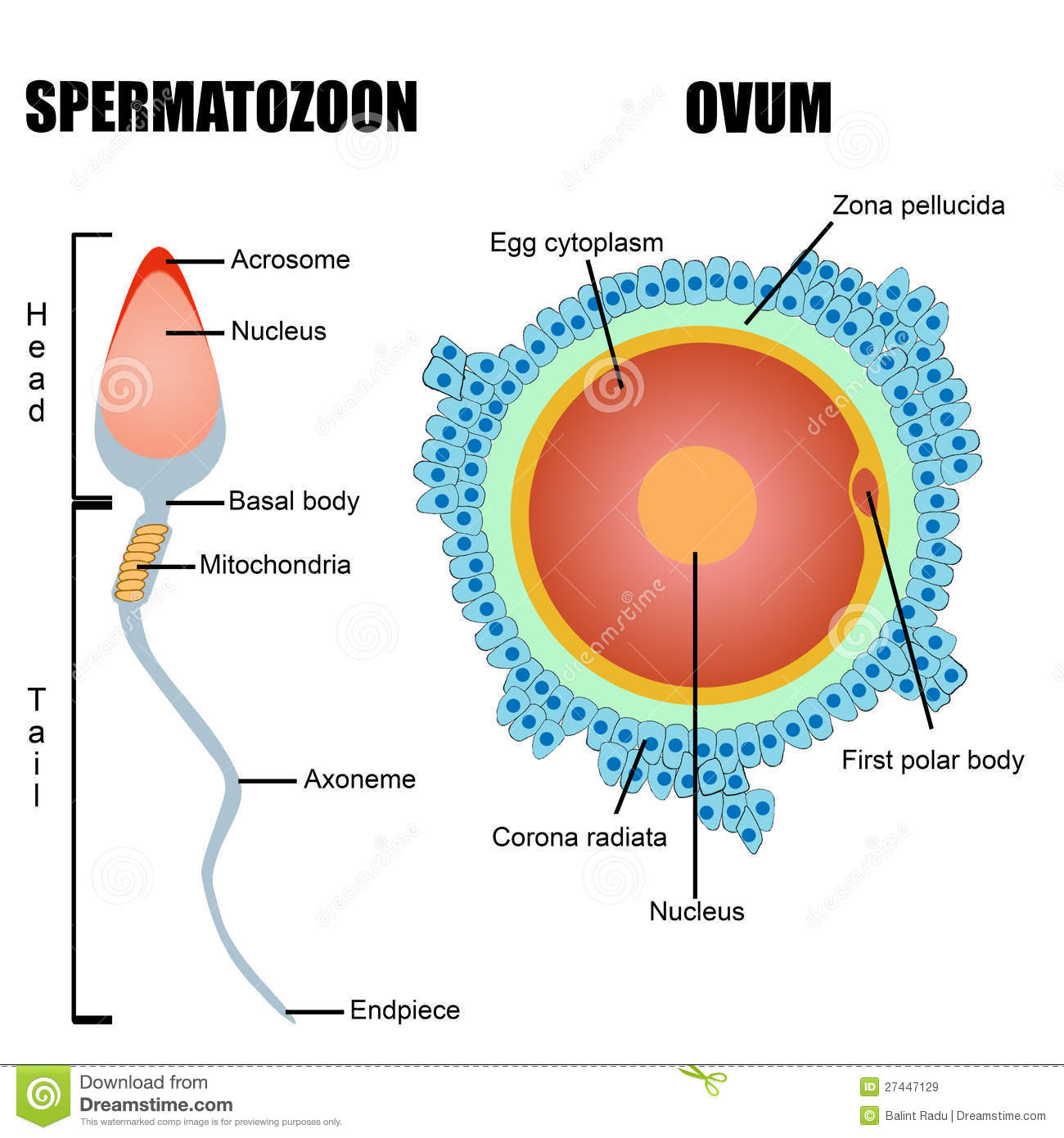 hight resolution of structure of human gametes egg and sperm stock illustration egg structure diagram human egg cell diagram
