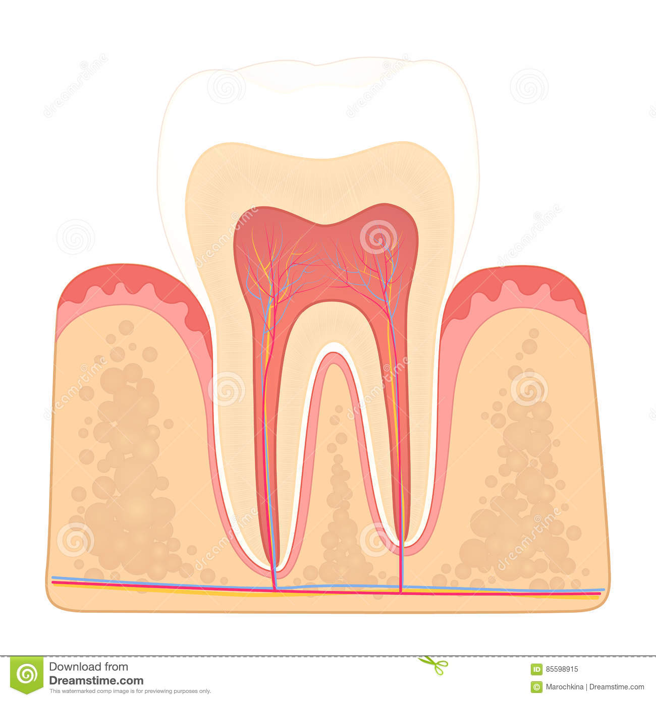human tooth diagram horse tack structure of teeth stock vector illustration