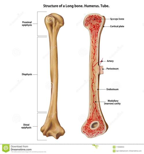 small resolution of structure of a long bone