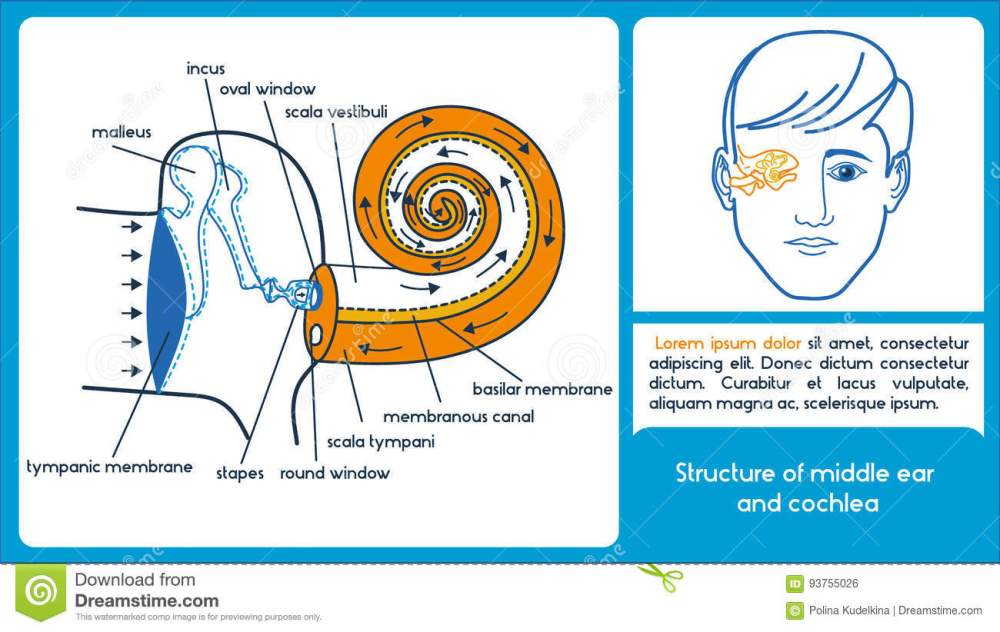 medium resolution of structure of middle ear and cochlea