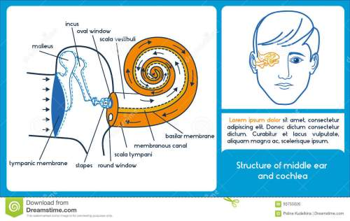 small resolution of structure of middle ear and cochlea