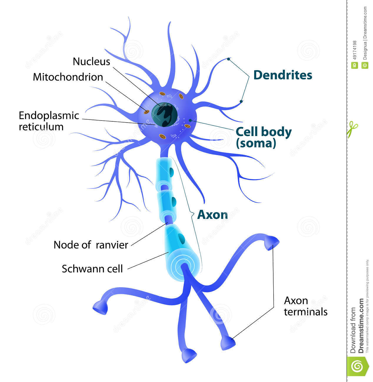 Structure Of A Motor Neuron Stock Vector