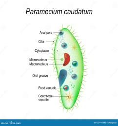 paramecium stock illustrations 142 paramecium stock illustrations vectors clipart dreamstime [ 1300 x 1390 Pixel ]