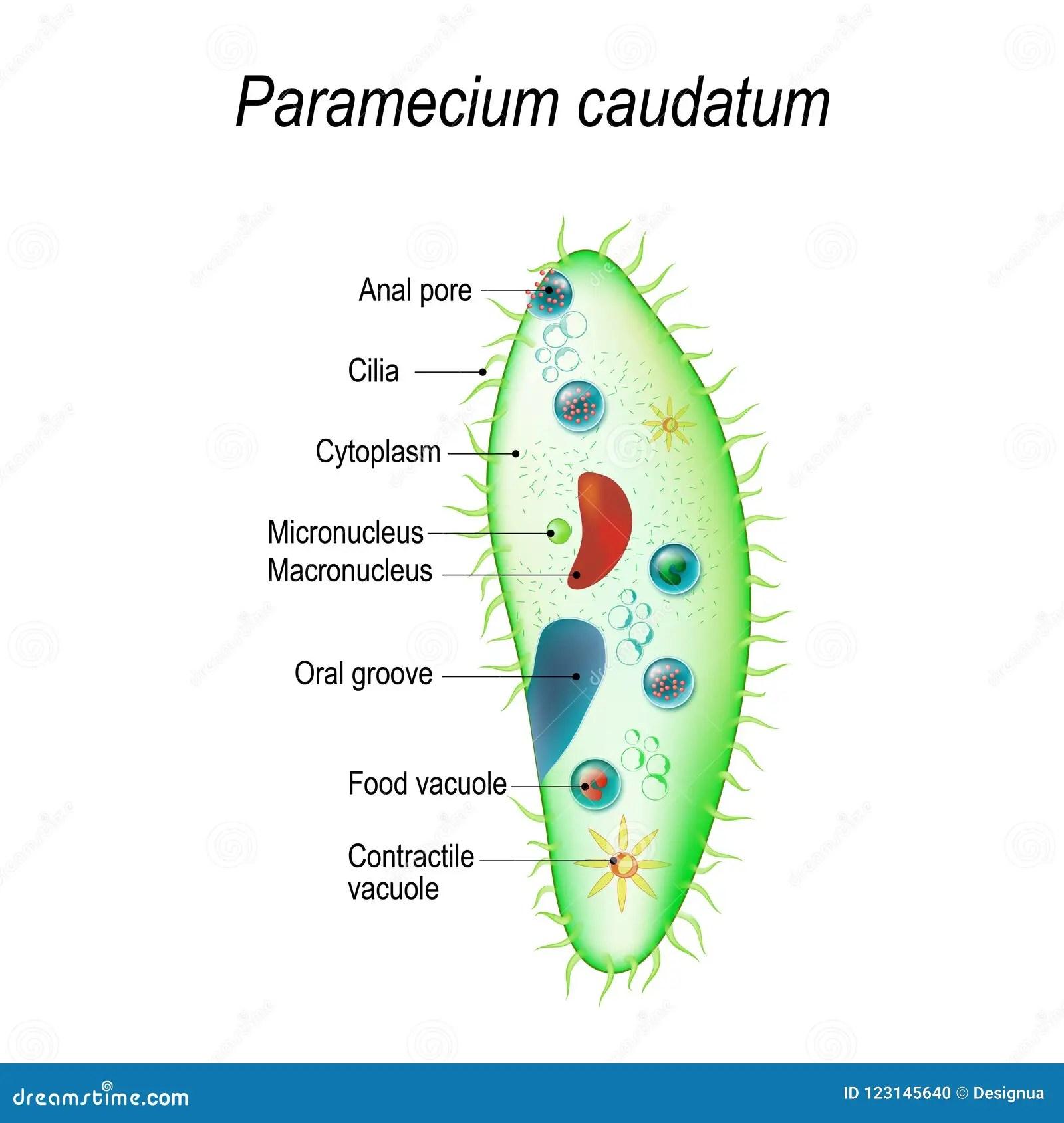 hight resolution of paramecium stock illustrations 142 paramecium stock illustrations vectors clipart dreamstime