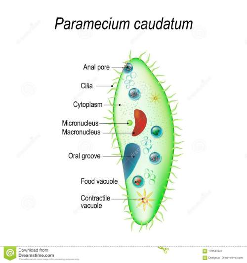 small resolution of paramecium stock illustrations 142 paramecium stock illustrations vectors clipart dreamstime
