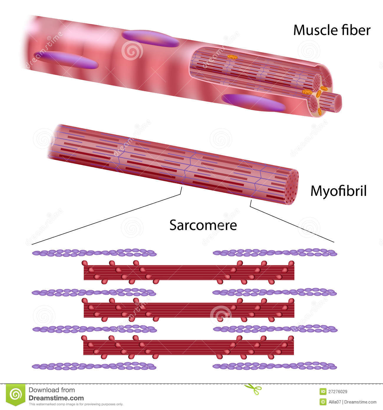 muscle fiber diagram single phase ac motor forward reverse wiring of a neuron free engine image for user
