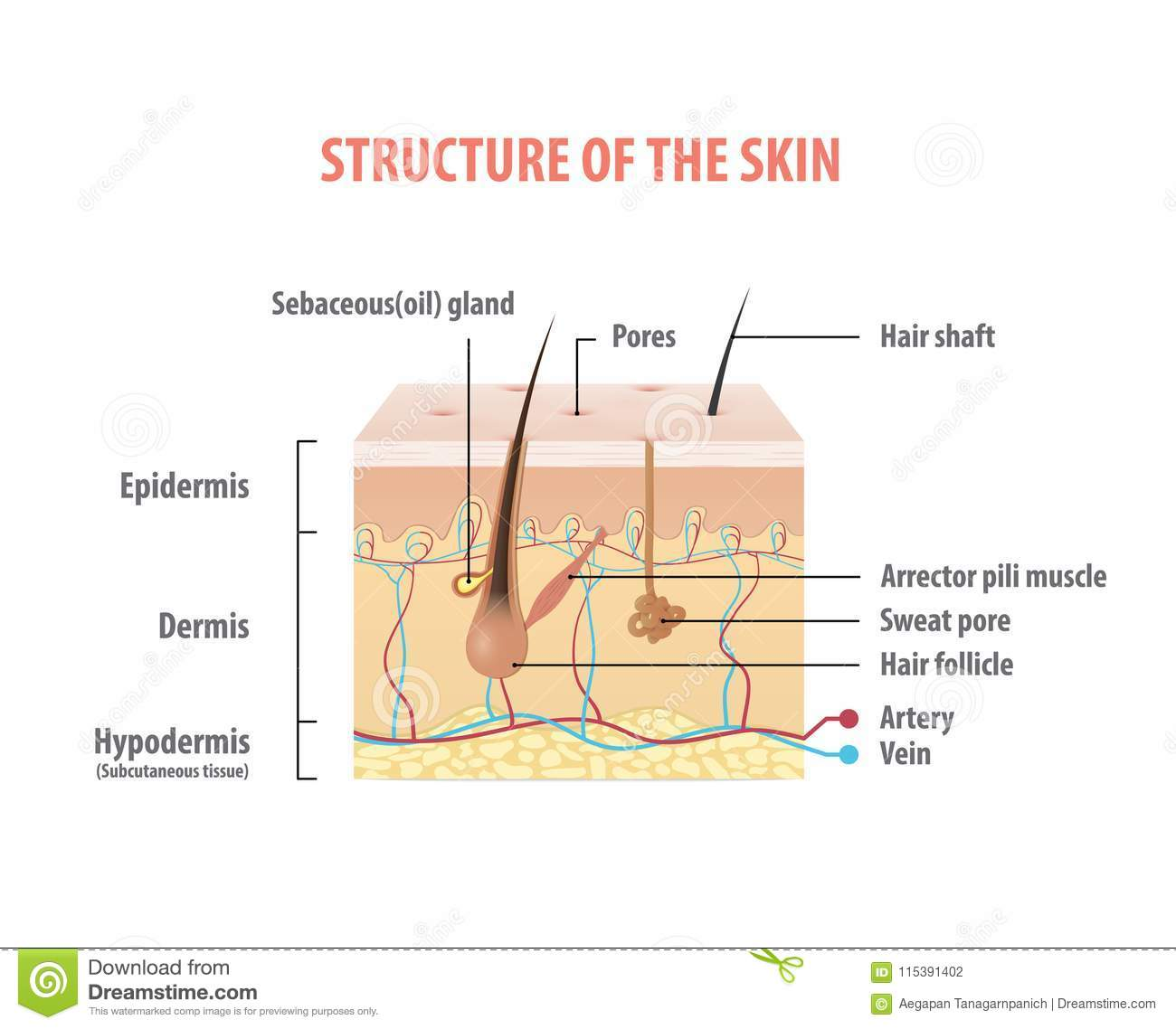 Diagram Of A Hair Follicle In A Cross Section Of S Cartoon Vector