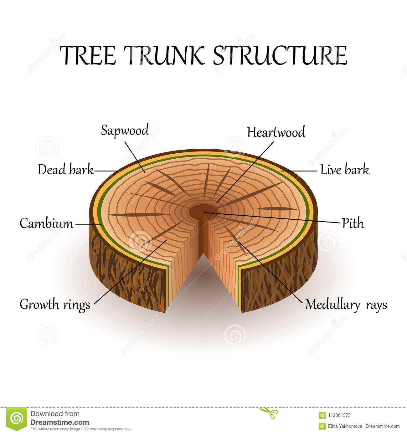 hight resolution of tree layers diagram wiring diagram for you tree trunk layers diagram the structure of the slice