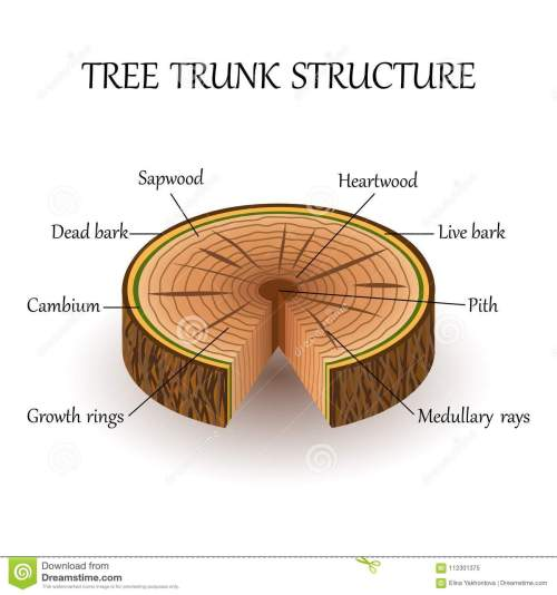 small resolution of tree layers diagram wiring diagram for you tree trunk layers diagram the structure of the slice