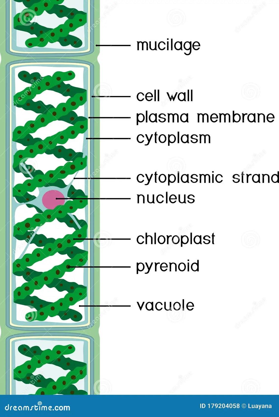Spirogyra Labelled Diagram : spirogyra, labelled, diagram, Structure, Spirogyra, Charophyte, Green, Algae, Titles, Stock, Vector, Illustration, Cell,, Biology:, 179204058
