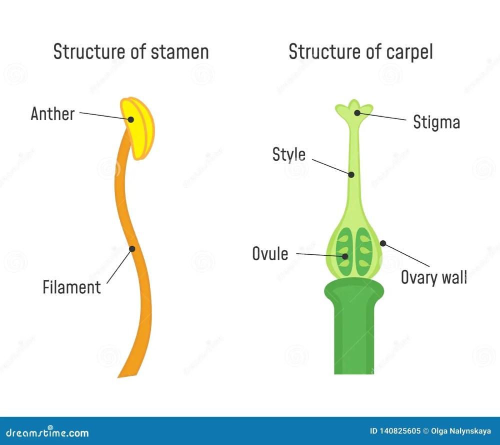 medium resolution of structure of stamen and carpel flower part diagram