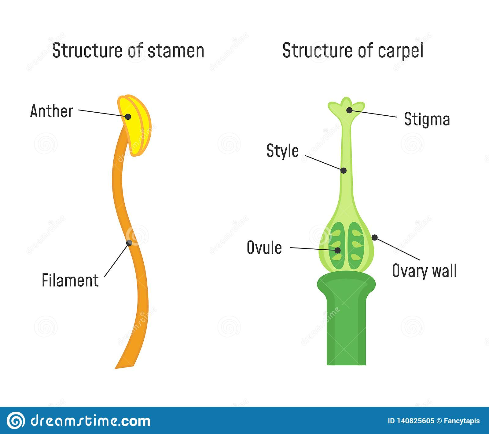 hight resolution of structure of stamen and carpel flower part diagram