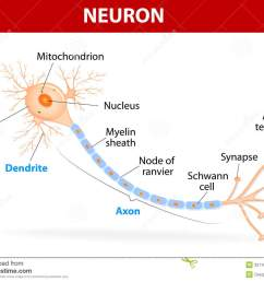 anatomy of a typical human neuron axon synapse dendrite mitochondrion myelin sheath node ranvier and schwann cell vector diagram [ 1300 x 1026 Pixel ]
