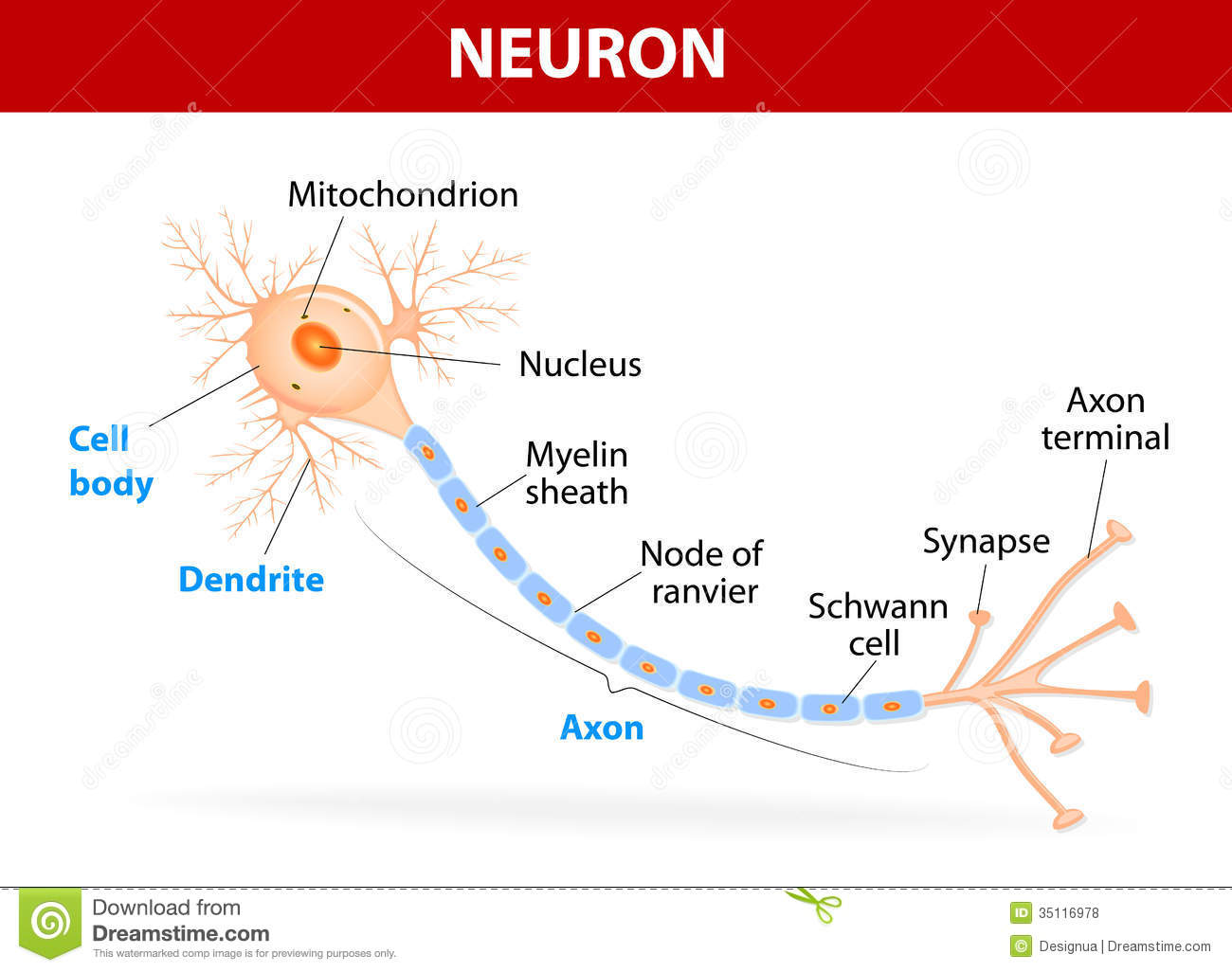 hight resolution of anatomy of a typical human neuron axon synapse dendrite mitochondrion myelin sheath node ranvier and schwann cell vector diagram