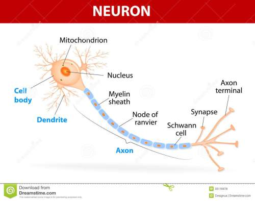 small resolution of anatomy of a typical human neuron axon synapse dendrite mitochondrion myelin sheath node ranvier and schwann cell vector diagram