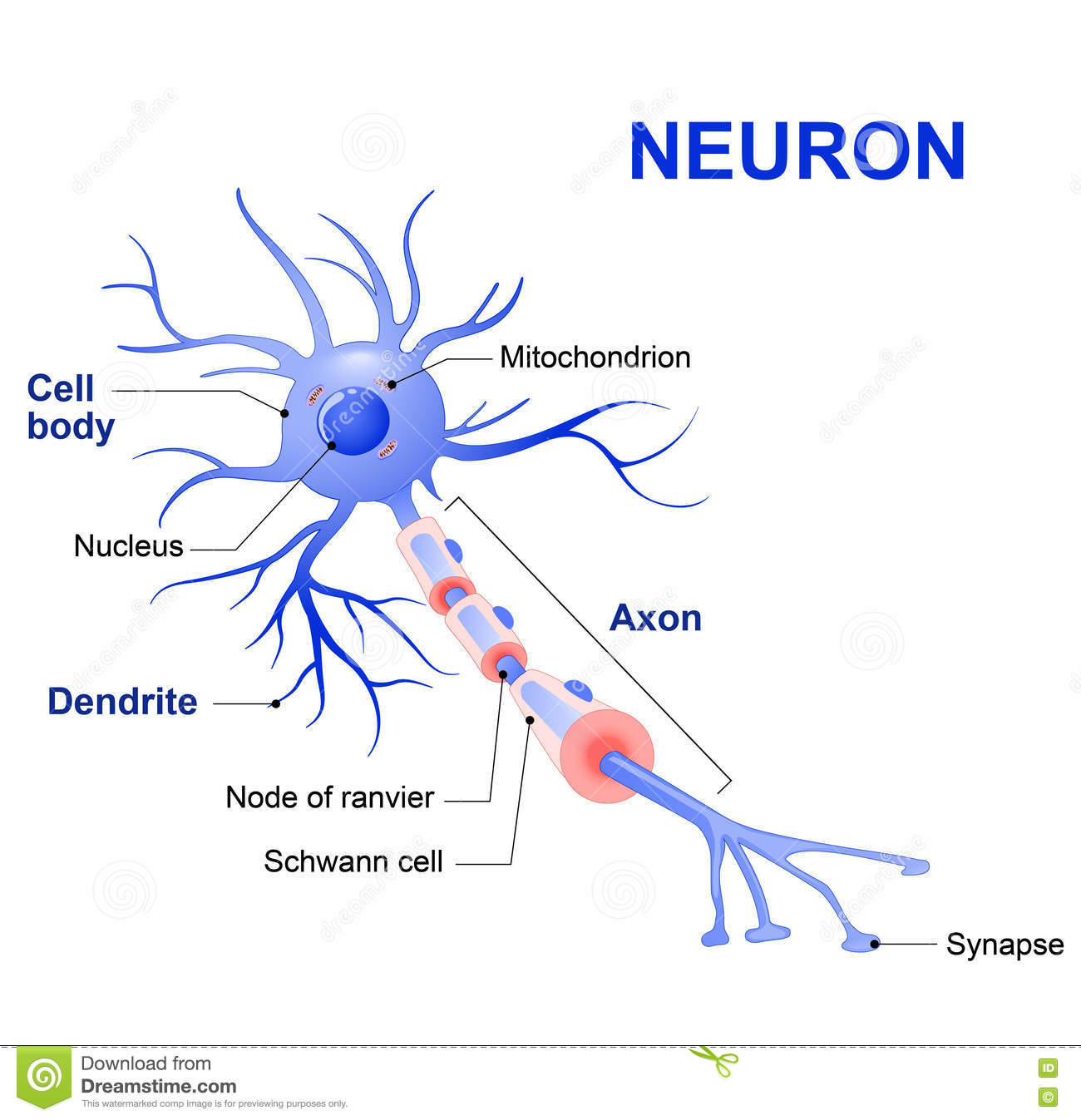 synapse diagram label pioneer deh 1100mp wiring of a typical neuron structure spinal