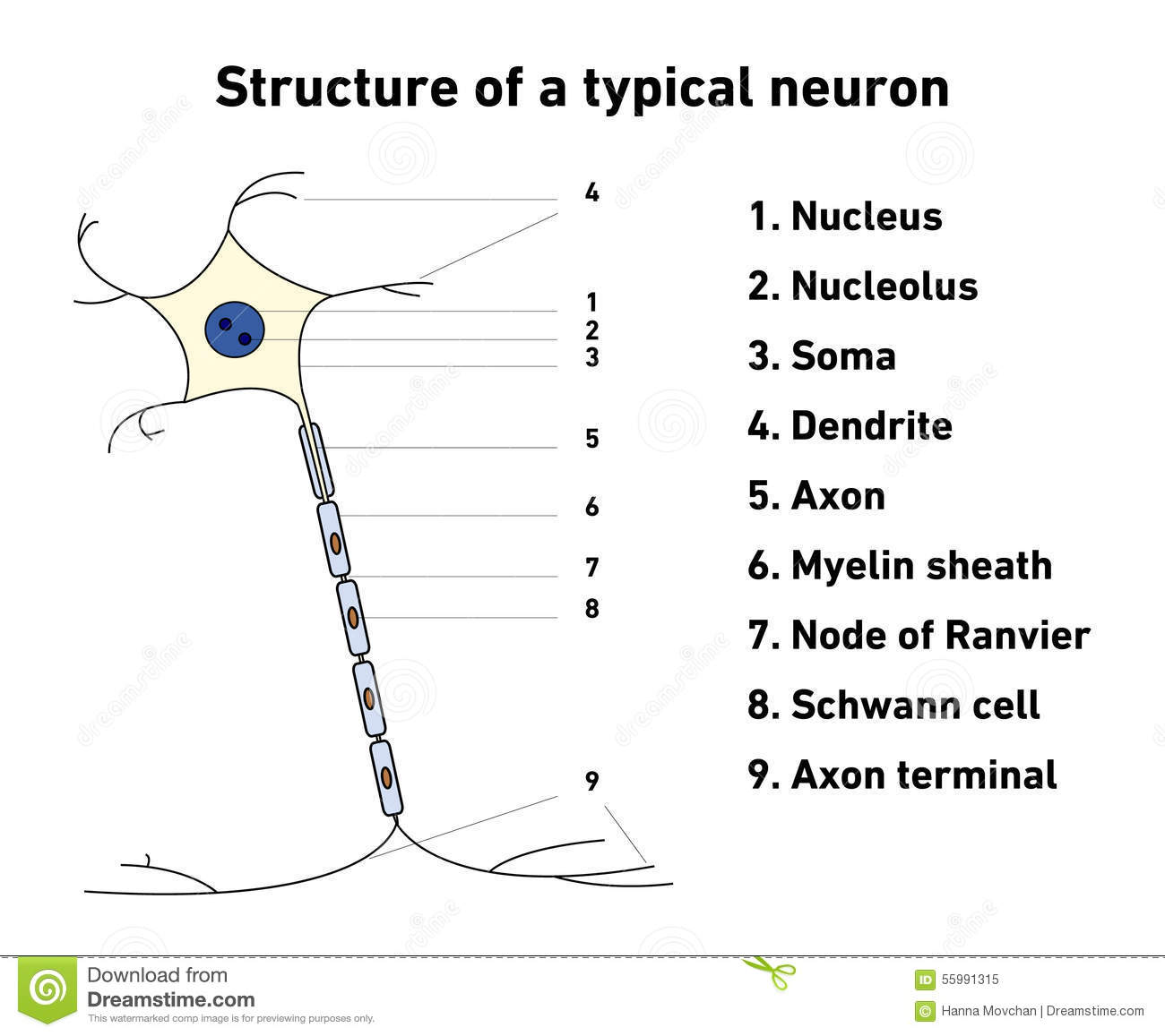 multipolar neuron diagram labeled john deere 318 wiring structure of a typical stock vector illustration
