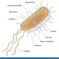 Microbiology Prokaryotic Cell Diagram Labeled 2004 Chrysler Pacifica Engine Structuur Van Een Bacteriële Cel Vector Illustratie