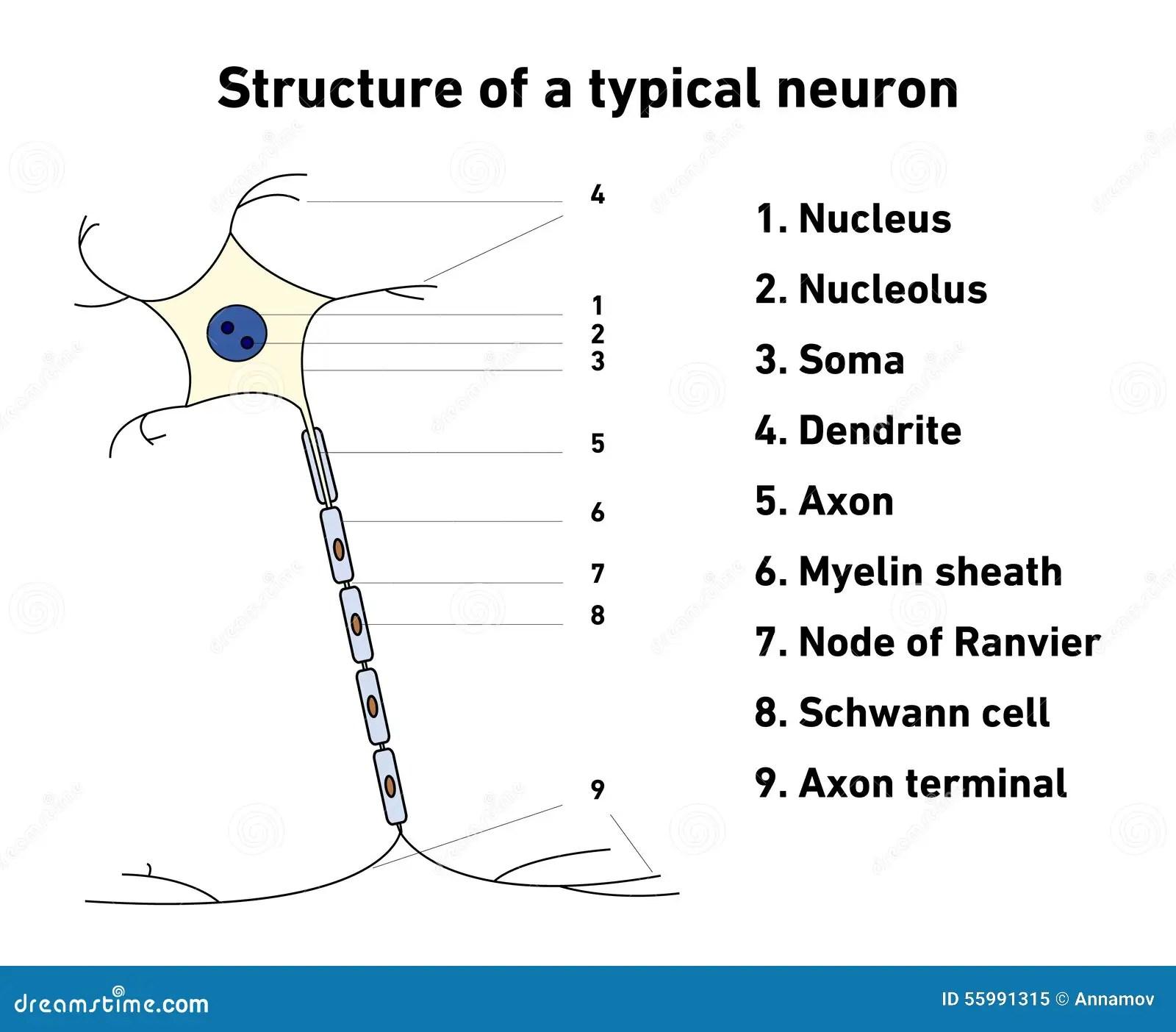 Struktur Av En Typisk Neuron Vektor Illustrationer