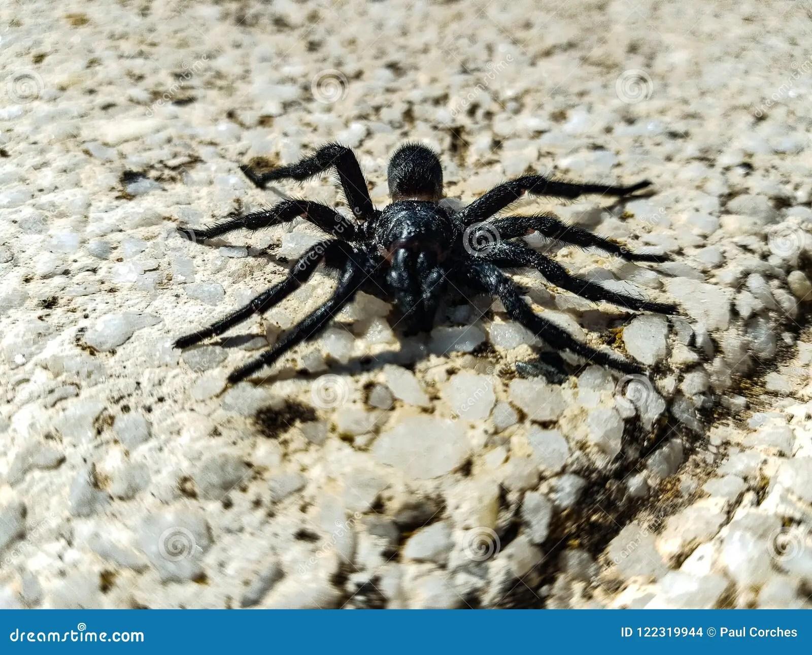 spanish tarantula stock photo