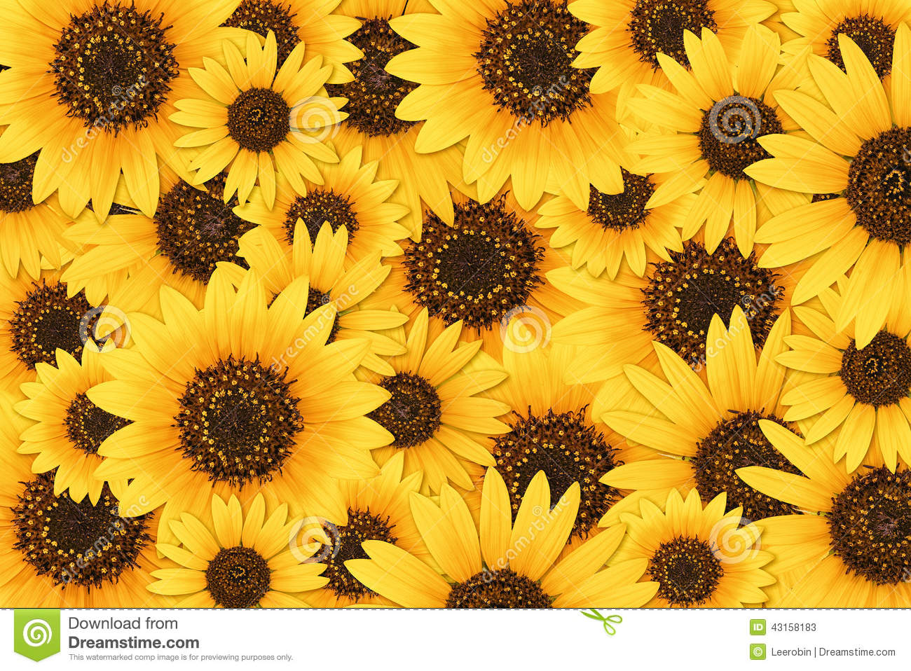 Fall Sunflowers Wallpaper Sunflower Background Stock Image Image Of Helianthus