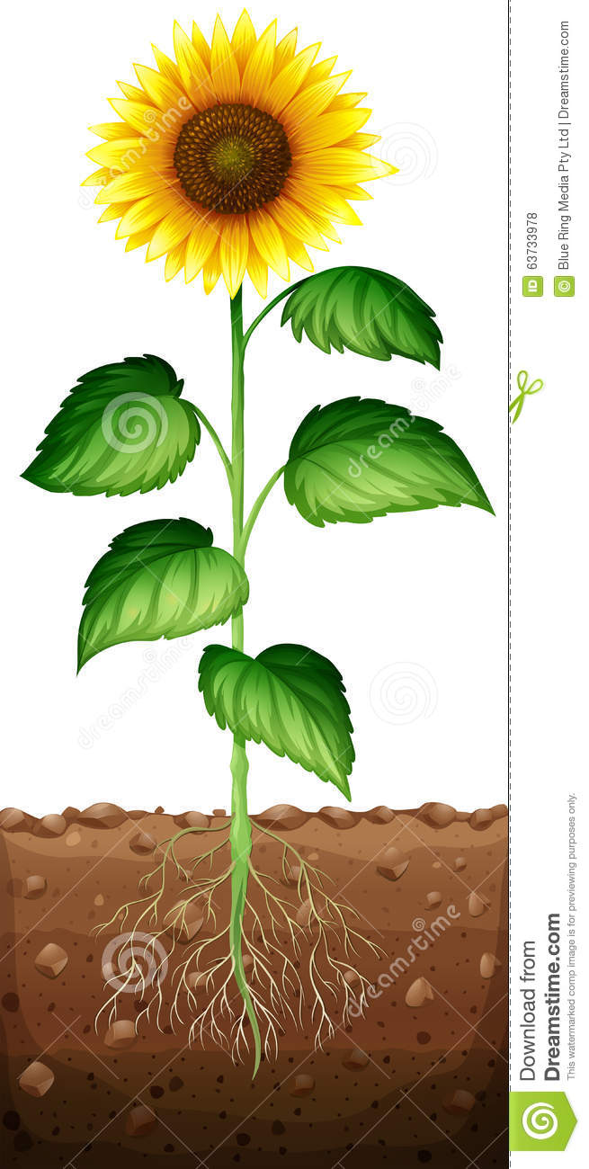 Sunflower With Roots Underground Stock Vector  Illustration of flower illustrated 63733978