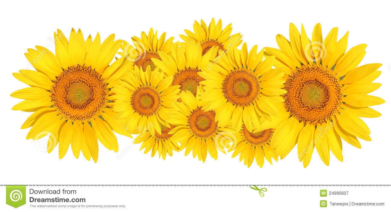 Sunflower On White Background Royalty Free Stock