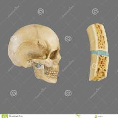 Bones Diagram Human Face Wiring A Switched Outlet Sutural Ligament In Skull Stock Illustration - Image: 46128617