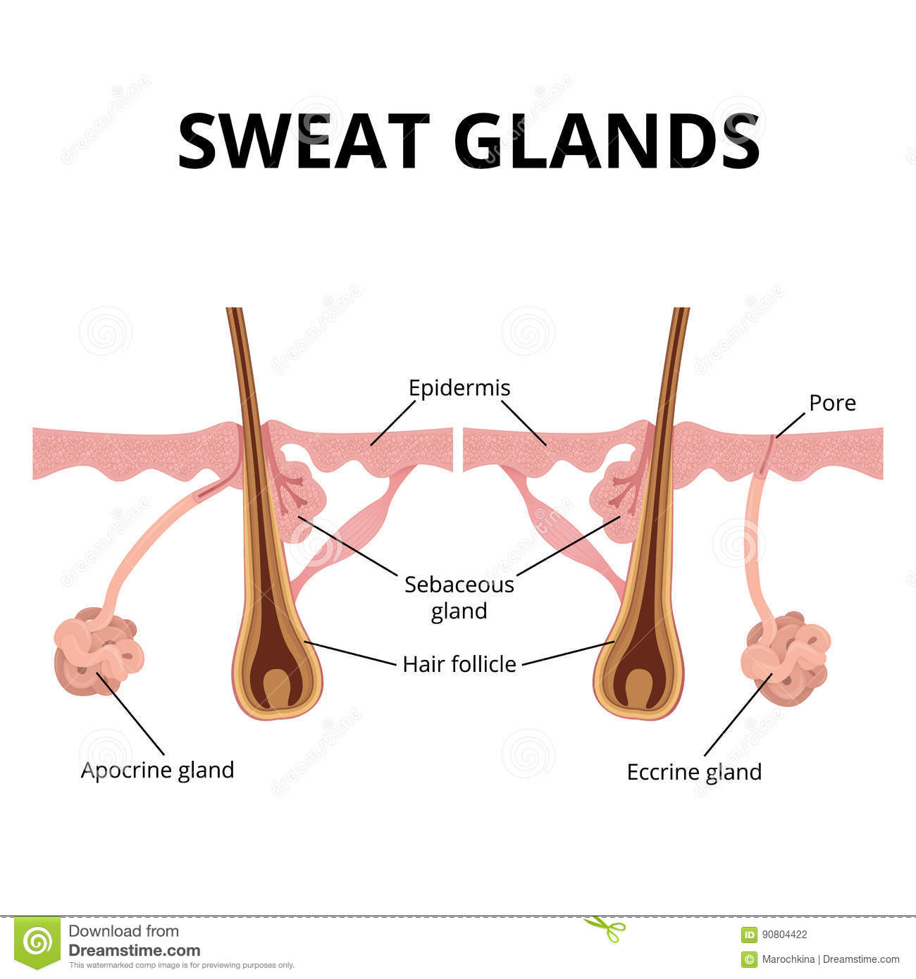 Sweat And Sebaceous Gland Stock Vector Illustration Of Science