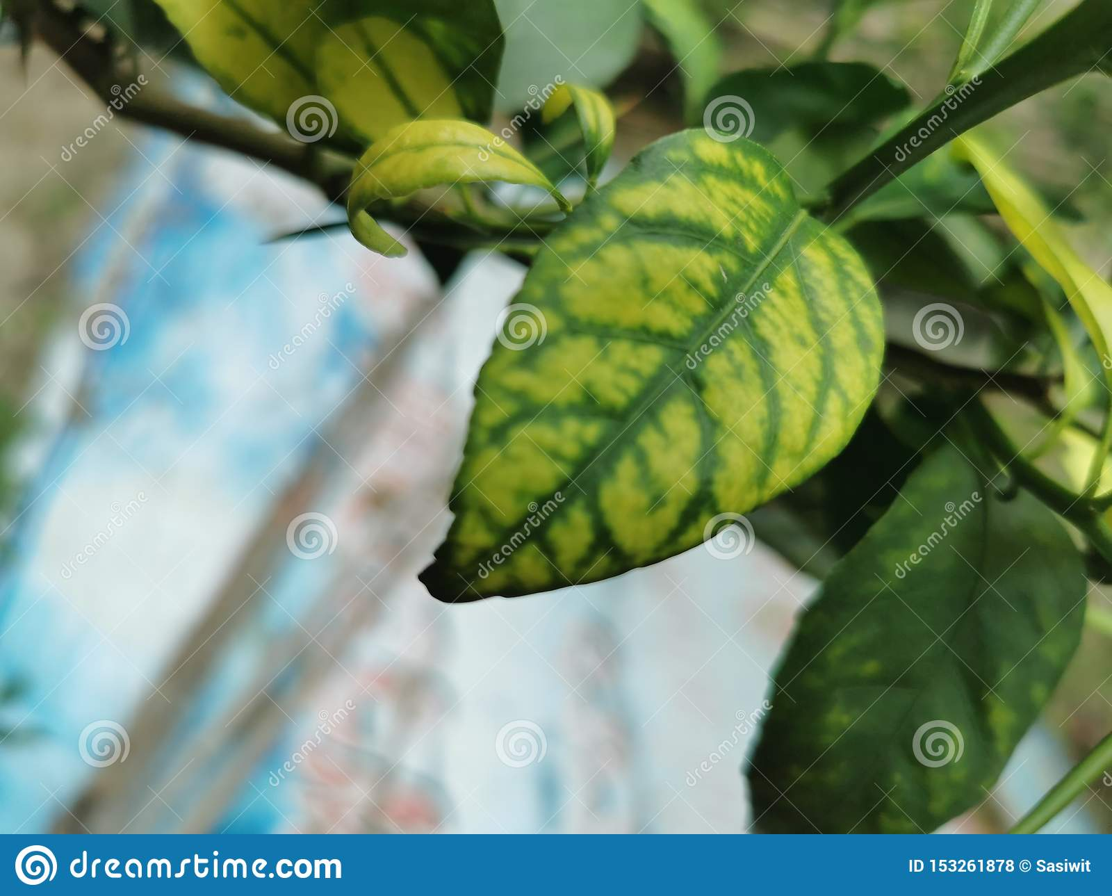 Symptom Of Trace Element Deficiency On Lime Leaf Stock ...